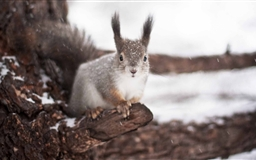 Squirrel Winter Mac wallpaper