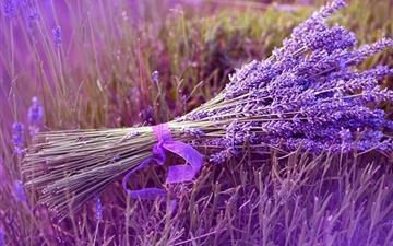 Lavender Mac wallpaper