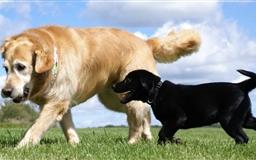 Golden And Labrador Retriever Mac wallpaper