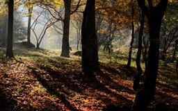 Maple Forest Fall Mac wallpaper