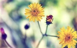 Yellow Spring Daisy Mac wallpaper