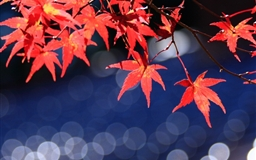 Japanese Maple Leaves Bokeh Mac wallpaper