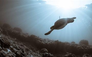 Sea Turtle Swimming Mac wallpaper