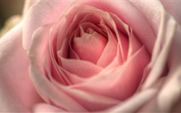Pink Rose Mac wallpaper