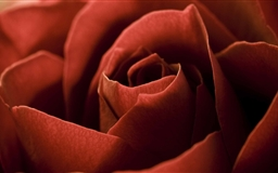 Red Rose Petals Macro Mac wallpaper