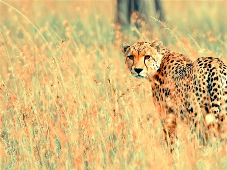 Wild Cheetah Mac Wallpaper