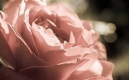 Peach Rose Mac wallpaper