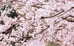 Cherry Tree Branches Mac wallpaper