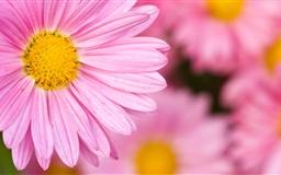 Pale Pink Chrysanthemum In Full Bloom Mac wallpaper