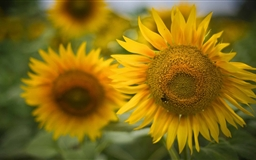 Beautiful Sunflowers Mac wallpaper