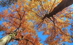Maple Trees  Mac wallpaper