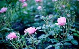 Pink Garden Roses Mac wallpaper