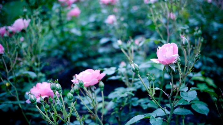 Pink Garden Roses Mac Wallpaper