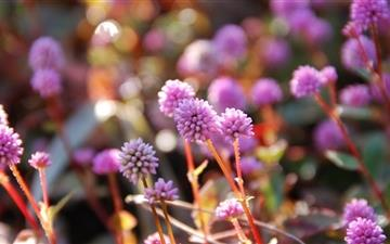 Pink Persicaria Capitata Mac wallpaper
