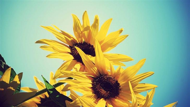 Sunflowers Against Blue Sky Mac Wallpaper