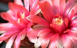 Two Beautiful Cactus Flowers Mac wallpaper