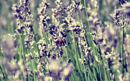 Lavender And Ladybug Mac wallpaper