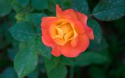 Orange Rose Mac wallpaper