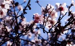 Sakura Spain Mac wallpaper