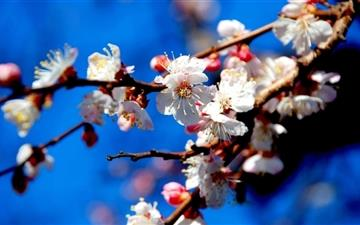 Apricot Flowers Mac wallpaper