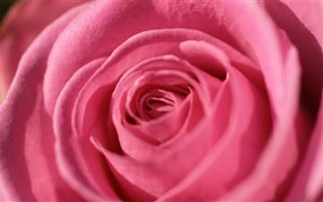 Pink Rose Macro Mac wallpaper