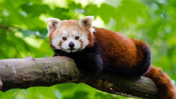 Red Panda Mac Wallpaper