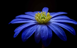 Balkan Anemone Flower Mac wallpaper
