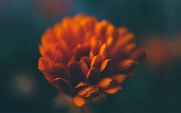 Orange Flower Mac wallpaper