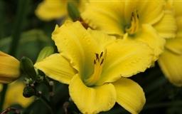 Yellow Lily Flower Mac wallpaper