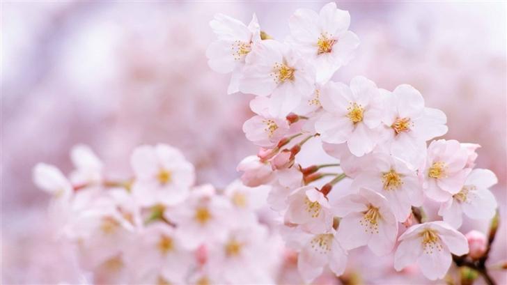 Cherry Flowers Mac Wallpaper