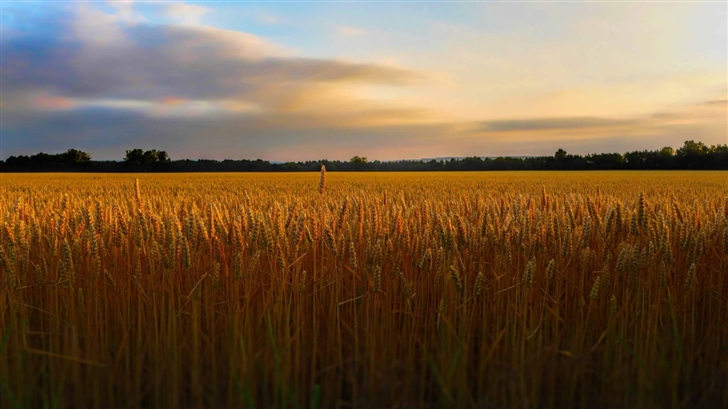 Golden Wheat Field Mac Wallpaper