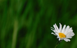 Wild Daisy Mac wallpaper