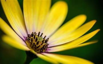 Yellow Daisy Flower  Mac wallpaper