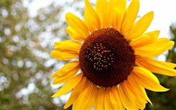 Sun Flowers Mac wallpaper