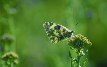 Armenia Butterfly Mac wallpaper