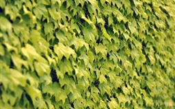 Ivy wall summer Mac wallpaper