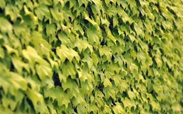 Ivy wall summer Mac wallpaper