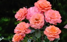 Hybrid Roses Mac wallpaper