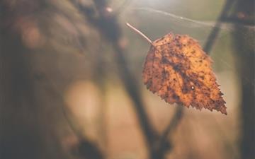 Birch leaf autumn Mac wallpaper