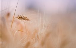 Wheat Spike Summer