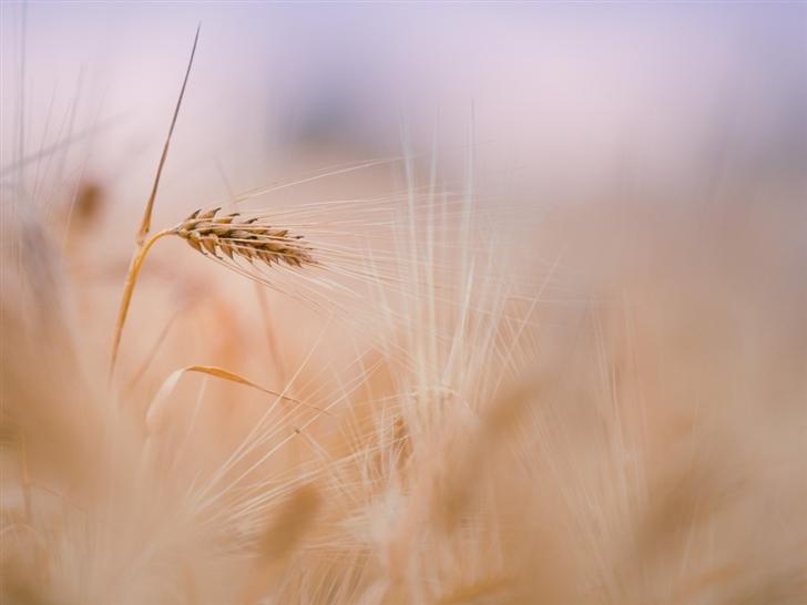 Wheat Spike Summer Mac Wallpaper