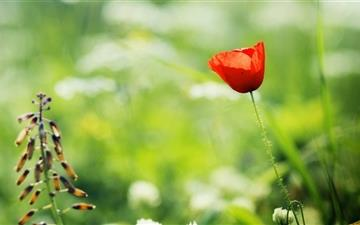 Red Poppy Close Up Mac wallpaper