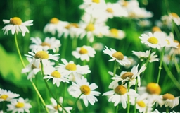 Chamomile Flowers Mac wallpaper