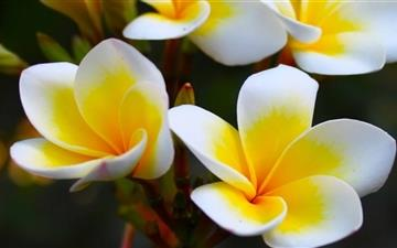 Frangipani Yellow Mac wallpaper