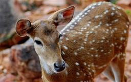 Spotted Deer Mac wallpaper