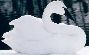 The Swan Mac wallpaper
