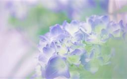 Hydrangea Blossoms Mac wallpaper