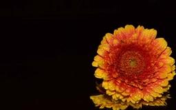 Orange Gerbera Daisy Mac wallpaper