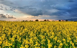 Rape Field  Mac wallpaper