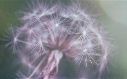 Dandelion Fluff Mac wallpaper